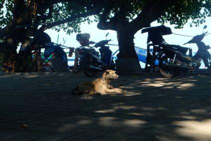 Lovina streetdog