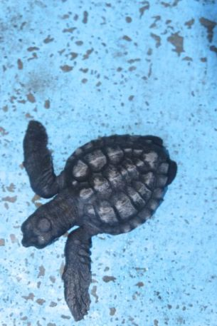 Vorig jaar 1700 schildpadjes uitgekomen, 1300 uitgezet in zee