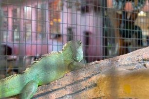 Chameleon, Melaka
