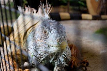 Really big lizard, Georgetown, Maleisië