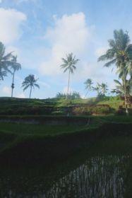 Sawa's: rijstevelden