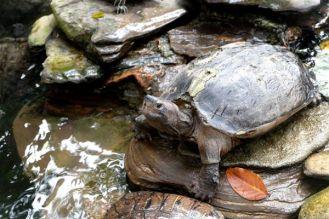Turtle, Kuala Lumpur
