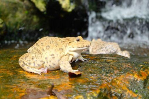 Holy toad of Kuala Lumpur