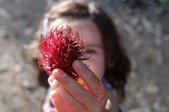 Rambutan, the 'hairy' fruit