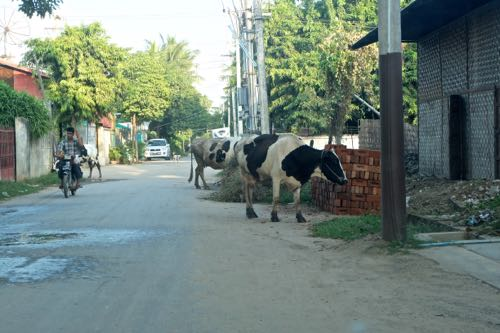 Our street, with Belgian cow
