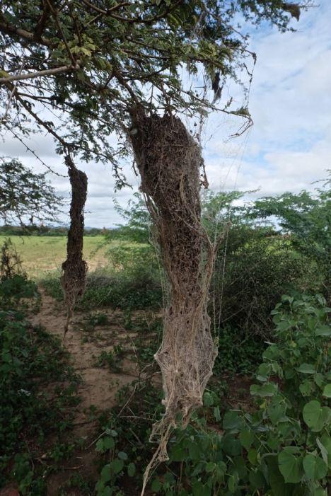 Spider's nest, Bagan, Myanar