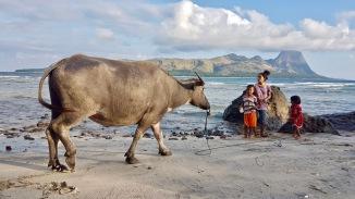 Buffalo on da beach, Dintor, Flores